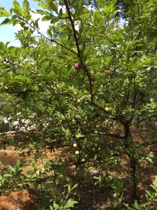 Gardening: Fruits & Vegetables 101: Plums