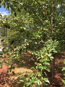 Gardening: Fruits & Vegetables 101: Asian Pears