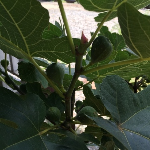 Gardening: Fruits & Vegetables 101: Figs: Celebrity and Turkey