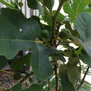 Gardening: Fruits & Vegetables 101: Figs