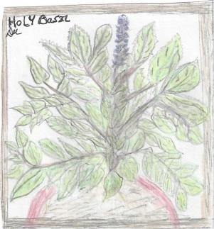 Holy Basil (Tulsi)